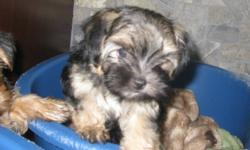 I have one female morkie, born July 22, 2011, available left from a litter of three to a loving home. She will range 6-7 lbs full grown. Mom is a 7lb maltese, and dad is a 5.5 lb yorkie. Both parents on site. Pups have beautiful thick shimmering coats,