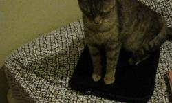 Cali is an incredibly sweet one year old grey tabby, free to a good home. She is a little shy at first, but can be very loving and energetic once she gets to know you. My roommates and I are unable to keep her and would like to see her find a place before