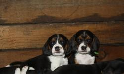 Only 1 Male puppy left!!!   My family had a beautiful litter of beagle puppies on october 3rd. We had a litter of 8 puppies 3 boys and 5 girls all others are now with their new families so we just have the one little boy looking for a loving home. Both