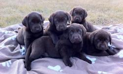 We only have 1 gorgeous female Chocolate Lab puppy that is ready for her new home! Her parents are both purebred Chocolate Labrador Retreivers, however their puppies are not registered. They are true to their breed and love the water as well as