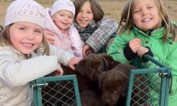 There's only 1 beautiful female Chocolate Labrador puppy left that's waiting for you to take her home! Her sire is a CKC registered Chocolate Labrador Retriever (English) and her dam is an unregistered Chocolate Labrador Retriever (American). Both parents