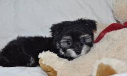 Ready to Go!   Happy, healthy, gorgeous CKC Havanese male puppies born on September 30, 2011.    Havanese have excellent dispositions and are great with children and other pets. They are playful and spirited, yet gentle and cuddly too! They love
