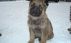 2 Female Puppies- Pure Bred German Shephard 300.oo each Ready to go for Christmas... we own both parents, very good family dogs. Good temperment, and protect their people and property.