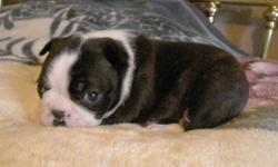 "**REDUCED PRICE**Happy, healthy babies need to get into their new homes now to take advantage of the critical bonding period!. Classic dark Brindle Boston Terrier babies also have the Boston Terrier trademark ""thumbprint"" on the tops of their heads. Both"