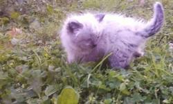Only Himalayan Ragdoll Kittens left. Mother a purebred seal point Himalayan and Father Purebred chocolate point ragdoll. There are two males and one female left to choose from. The two males are flame point. One is medium coat while the other is a long