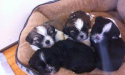 They will be vet checked. They are hypo-allergenic and great for people who have allergies. You are welcomed to come to my home to see them or i can come to yours. I ask for a $100 deposit to hold your puppy until they are 8 weeks old.