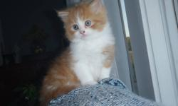 Oliver is an orange and white long-haired male kitten. His mom is a himilayan, so he is very soft and fluffy. He has a ringed tail and mostly white legs and belly Happy, playful, lots of personality and fun! Likes to snuggle Raised with kids, cats, and a