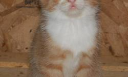 Hurry and have your pick of 6 adorable orange and white male kittens looking for homes. These ginger boys are worth the drive to CHILLIWACK. Country healthy, clean, no fleas,no mites, no sickness, and dewormed! Well handled, eating solids, and completely