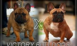 We have Now 3 outstanding Deep Red/Black Mask French Bulldog Puppies Available.  Amazing Champion Bloodlines, Parents are simply Phenomenal.  These Puppies are very hard to find Deep Red with Black Masks Stunning looking Frenchies!  They are very compact,
