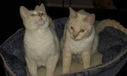 Just over a year old. Brother and sister, blue eyes, very calm. Neutered and spayed, all vaccinations up-to-date. Coloring identical but the male is bigger.. They are very good with children, dogs and other cats.