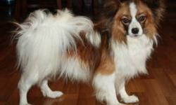 Pair of CKC registered Papillons for sale. Up to date on shots, unaltered with breeding rights. Dogs are from http://www.specialtykennels.com Female is 1 1/2 and the male is 2 years old. Ready for their forever home in the New Year.   Will consider trade