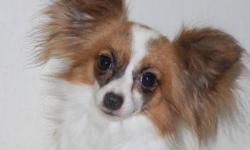 Are you a new breeder? Looking for Papillons? Well we have the perfect thing for you!   One male and four female Papillon breeders! ~Rusty ~  Male Papillon - 6 years old - Full Papillon - not registered - Intact proven breeder - Red and white in color
