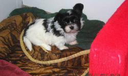 SHE WILL BE TINY AS AN ADULT. OF COURSE CUTE AS YOU CAN IMAGINE, AND WILL BE READY TO GO TO HER FOREVER LOVING HOME SOON. SHE IS VERY WELL SOCIALIZED BEING AROUND MY OTHER DOGS AND CATS, ALWAYS WITH ME IN THE HOUSE. SLEEPS THROUGH THE NIGHT AND IS VERY