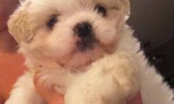 6 weeks old First set if shots Deworming Potty training is going very well!!! Very adorable a must see! This ad was posted with the Kijiji Classifieds app.