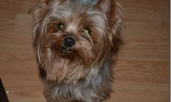 Missy is a beautiful 5 pound Yorkie who was given to me to spay, get teeth done and place.  She is retiring out of a Yorkshire Terrier breeding progam and she has produced a Canadian Champion.  This girl deserves a one on one home to retire in. She has