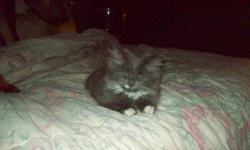I have a female fluffy persian manx (no tail) kitten for sale. great with other pets and litter trained. Friendly loves sleeping with you at night in need of its forever loving home e-mail or call 905 382 2137 thanks $150 obo