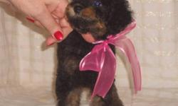 I am looking for a permanent foster home for this little girl She is just 8 weeks old She will be about 8 pounds full grown She is black and red (called a phantom poodle because of her markings) Please read section on our Foster program before emailing or