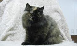 Registered health guaranteed solid tortie (red/black) color pet quality Persian female to approved home. She will have an easier to groom coat. She has large copper eyes and is quite pretty. Those that have owned and love Persian cats are most