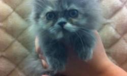 Persian kitten (female) - $599.99 Hymalayan x siamese kittens (male & female) - $399.99 Vet checked Microchiped