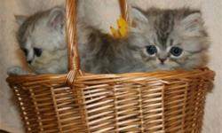 Beautiful persian kittens - now available! 10 weeks old, vaccinated, healthy! Personable! Girls and boys, pretty colors - silver tabby, torbie, color points. Please call Marnie @ 403 949-2516, no e-mails please