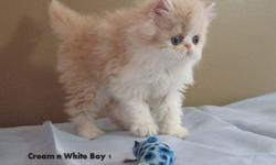 Purebred persian kittens available from registered breeder.Our cats are health tested and our kittens come with a 1 year written health guarantee.Will also have first shots, deworming and vet check.We have males and females available in time for