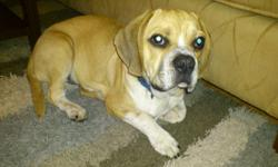 Amazing little puggle, 15 lbs at the most, about 12'' tall to his shoulder. He has all of his shots, not hyper but has always been a bit shy since we got him and with two little children, we aren't able to spend the time with him that he needs. He's