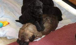 four female and two male labradoodles for sale......price reduced as these pups are looking for a nice loving home and are ready to start the next stage of their lives....the pups have had their dew claws removed been dewormed and have had their shots and