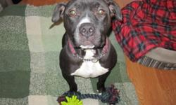Dice is looking for a new family! He came in from a high-kill shelter in California. Dice is 3 yrs old, fully vetted, and looking for a home with experience with bully breeds. Dice is good with other dogs his size, male and female, however does intro like