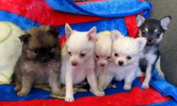 I have 5 (Pomeranian-chihuahua) MALES. Come with vaccinations and vet papers.Well socialized.  :) Will deliver to Calgary on Saturday!