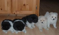 I have 3 female Pomeranian/Japenese Chin puppies for sale.They will mature 10-12 Lbs.They have been dewormed 3 times.Not needled.Black&White ones are 250.00.THE WHITE PUP IS 300.00.All females.Phone calls preferred.Phone 902-467-0602.