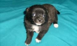 Two girls, one boy - Mom is 3/4 pom and dad is full pom so I guess they are 7/8th's pom pups. All are black with a touch of white as Dad is a chocolate and white party pom and Mom is pictured. Vet checked and 1st shots done. Sorry need updated pics -