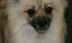 Fallon is a Cream sable Pomeranian Registered, spayed, tattooed up to date on vaccinations and de-wormed, house and kennel trained, Well Socialized....and needs loving home!!!! call 780-292-3201