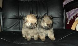 two purebreed female pomeranian puppies for sale. they have had the first treatment for being dewormed. and get their first needle december 30th and will be vet checked at that time. pic #5 is the mom she weighs 7.5 lbs pic #6 is the dad he weighs 6 lbs