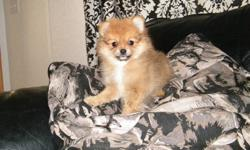 1 red cream sable female should mature to 5-6 pounds. price $600 mom is full blood black 5 pound pomeranian and dad is a 4 pound blue merle reg'd pomeranian puppies will come with first shot and vet check, worming. puppies are already navigating to the