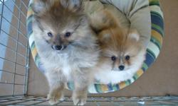 Pomeranian Puppies available . Happy healthy well socialized and in home raised. Wormed,ist shots,vet checked,and on non breeding agreements.I have raised and show pomeranians since 1980. Member of Pomeranian Club of Canada,Pres. of Pomeranian club of
