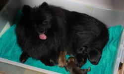"""Ready for adoption in a """"forever"""" home. 1black male still available, he is the smallest of the litter 1 sable female (available to the right home)  2 males - not availabe at this time ready to go in the next week or two Puppies are dewormed,"""