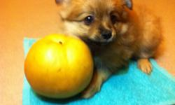 Selling 1 pure breed pomeranian female puppy; mom is a 5 pound pomeranian and dad is a 6 pound pomeranian, this little girl should be around 5 pounds full grown. Call to arrange a time to meet up with this cute lil fluff ball. Brownie has been home raised