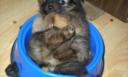 2 male pom puppies, needled & dewormed. parents on site, serious inquiries only please. they are very outgoing,playful, snuggly teddy bears and love the outdoors. Second picture they are the ones on the right