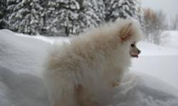 POMERANIANS MALES PUREBRED.  THESE GUYS ARE AMAZING AND VERY HANDSOME.  HUGE FUR. THEY WILL BE CKC REGISTERED, MICROCHIPPED, 2ND SHOTS INCLUDING RABIES.  EMAIL FOR LOTS MORE PICTURES. ONLY ONE MALE LEFT.  TAFFY IS A GEORGEOUS CREAM MALE.