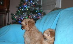 PUPPIES, PUPPIES, PUPPIES... 2 Beautiful little boy puppies. Very playful and friendly little babies! Born Oct. 18, 2011 - first shots Dec. 12. Puppies are quite small. Mom is a 9 lb PomPoodle and Dad is a 6 lb Poodle. Puppies are almost paper trained and