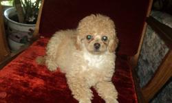 cute little poodle