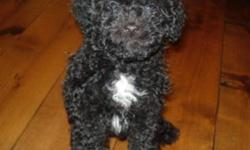 Only two Maltese poodles left. They are great companions, and travel well. Maltese poodles do not shed, and are easily trained. Both are pad trained.  Mini is female, and has a white spot on her chest.  She is and will likely remain smaller than average.