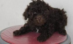 poodle  pups  3 male and one female 2 chocolate, one black and a silver female have been vet checked and needled they are beautiful and ready to go