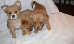 female puppies left. Mother is Yorkie  our family pet (she is about 8 lbs), the father is a minature Pomeranian (about 6 lbs). PorkiePups had  first shots, dewormed, vet check & health record complete on dec 5 2011. email us  and we will call you back )