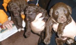 Thank you Kijiji! All Sold as of Jan 27/12. A litter of 11 pups. Mom is a beautiful gentle & loyal purebred Black Labrador Retriever, and Dad is a brilliant purebred Portuguese Waterdog champion (breed President Barrack Obama has named ?Bo?). All puppies
