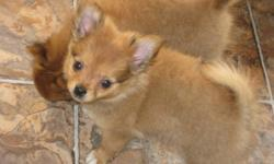 These little beauties are 1/2 pom & 1/2 chihuahua. They are cute little bundles of fluff and are ready to go to their new homes. They will come with 2 sets of shots, dewormed, a blanket and a puppy food. They will mature aprox. 5lbs.   Please call
