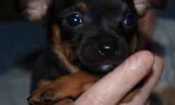 3 adorable chihuahua puppies. 1 male Black with brown markings. 1 male light cream with a little white. 1 female light cream with a little white. Born Nov.7/2011 will be ready to go to good homes Jan.2/2012 Serious Inquires only please. Both parents are