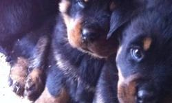 Hello to all my Rottweiler lovers, pups got their first shots and doing excellent, both parents are CKC registered with papers and on site,  Great temperment, rottweilers make a great family pet, very obedient, loyal, loving, and extremely playful. There