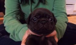 Pug puppies for sale. 5 males, 1 fawn, 4 black, 1 female black. Will be vet checked, wormed and first needle. Please call/email. Ready to leave end of October. Deposit secures. Fawn male, and 1 black male sold.