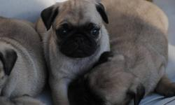 Beautiful purebred pug puppies, great with other animals, loves attention, 5 weeks old, ready to go at 8 weeks we are going to get their first shots then they will stay with us for 24 hours after, willing to take deposits.